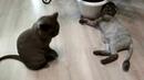 У Бусинки в гостях кот Плюшка. Стриженные кот и кошка.