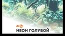 Неон Голубой аквариумные рыбки