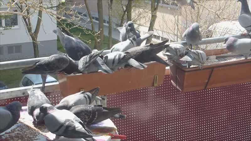 Из жизни пушистиков голубей 16.04.19