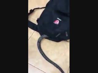 Змея залезла в рюкзак и...