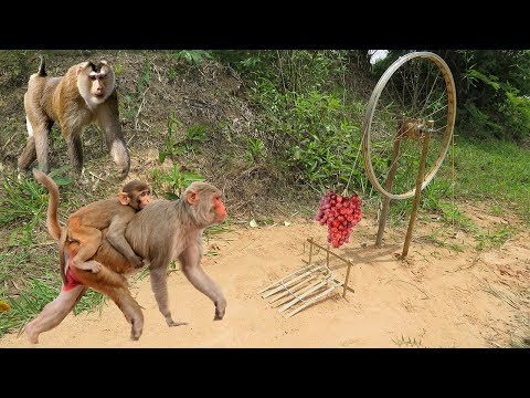 Awesome Quick Monkey Trap Using Old Bike Wheel - How To Make Monkey Trap With Bike Wheel That (Work