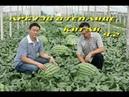 Арбузы в теплице. Китай. Часть 2. подготовка земли, посадка рассады и вертикальная подвязка.