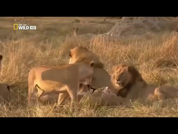 Best Documentary Nature Lions eating buffalo animal planet