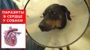 Собаку из приюта хотели усыпить Вылечили от сердечных червей Ветеринарное ранчо