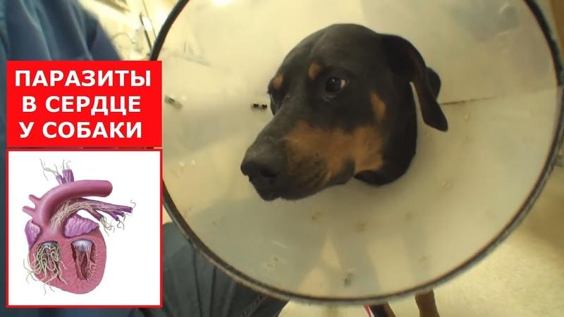 Собаку из приюта хотели усыпить.Вылечили от сердечных червей.Ветеринарное ранчо