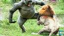 Сумасшедшие Животные. Бои за Территорию. Лев и Бабуин _ Full-HD.mp4