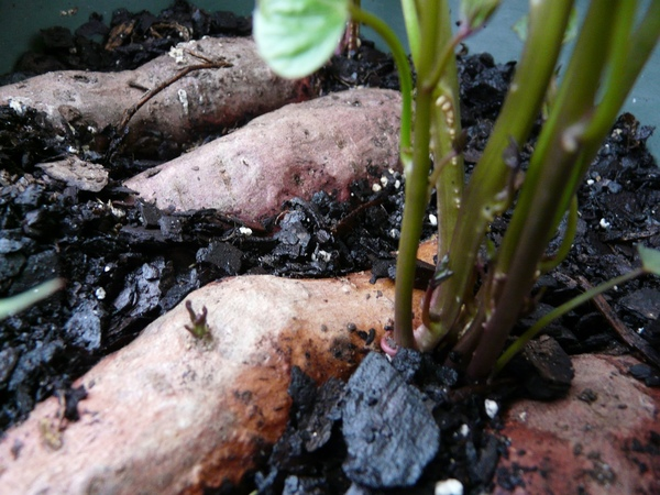 How To Grow Sweet Potatoes in Containers The Easy Way