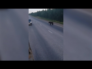 Медведь на трассе Усинск-Харьяга
