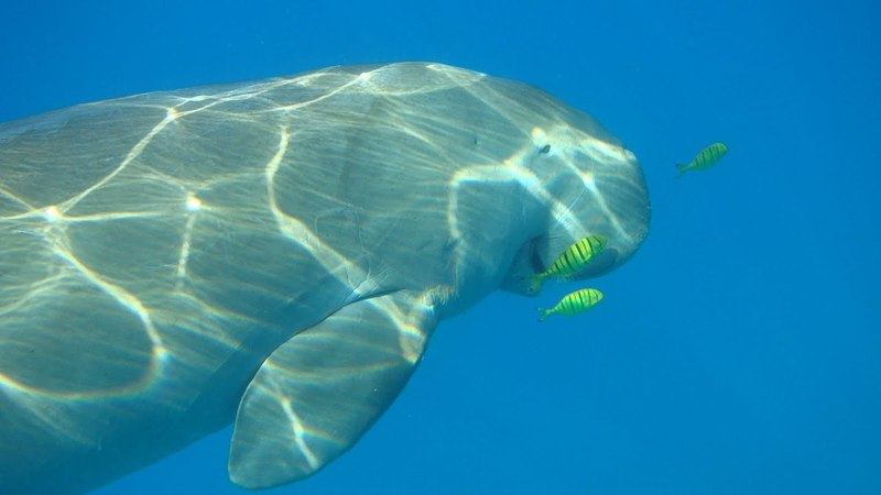 Marsa Alams Dugongs