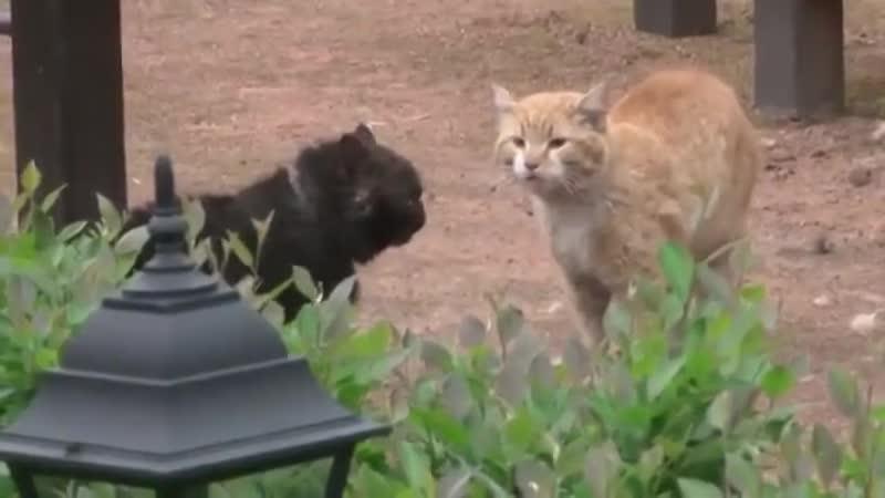 Драка котов, с озвучкой из фильма Джентельмены Удачи