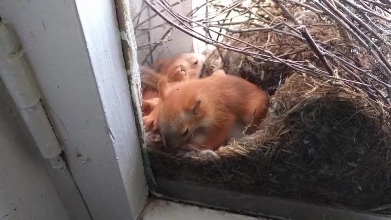 Белка устроила гнездо в омском доме творчества