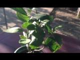 Дерево-сад (апельсин Вашингтон + лимон Мейер)