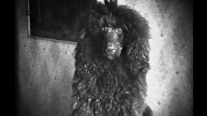 Standardpoodle_1983 Мои собаки_ABIRANO_киносъёмка 1983г