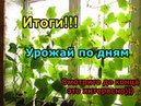 Огуречный урожай на подоконнике По дням Итоги
