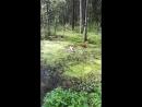 щенок хаски скачет по болоту