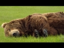 Серьёзные отношения на примере медведей