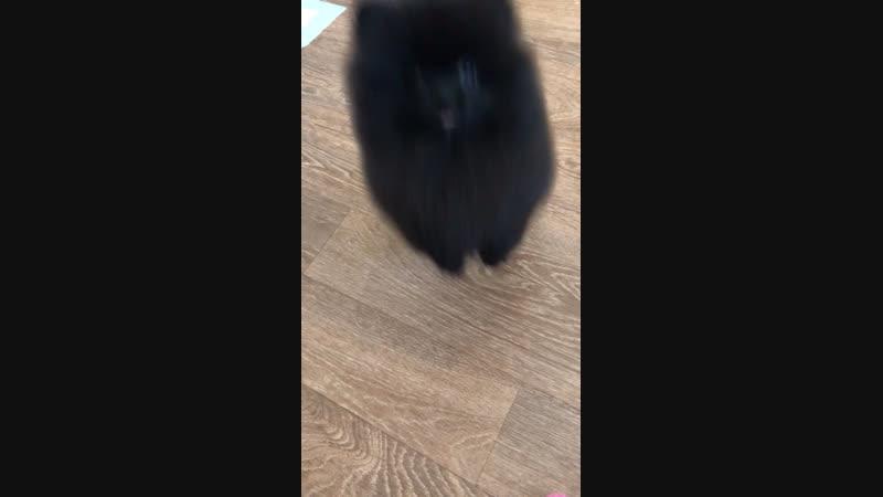 Pomeranian boy for sale ❤️