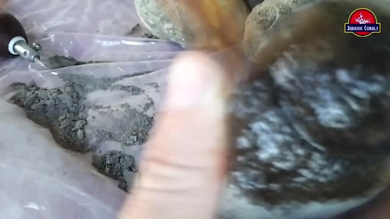 Fossil moon snail