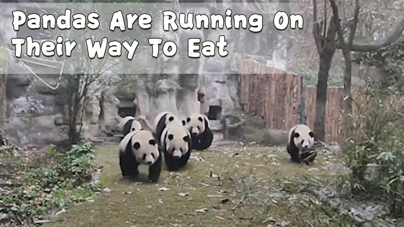A Group Of Giant Pandas Are Running On Their Way To Eat | iPanda