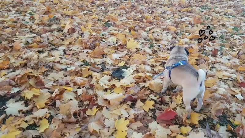 Осенний мопс Тори.mp4