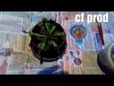 Венерина мухоловка Хищное растение Дионея cf prod