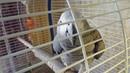 Разведение Жако Новая пара обживает и охраняет гнездовой домик
