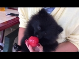 Эльза кушает помидор
