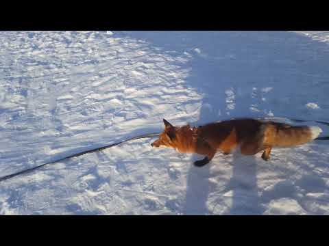Tiki the fox walking on the frozen pond yet again (Day 648)