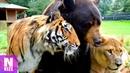 Tiger und Löwe