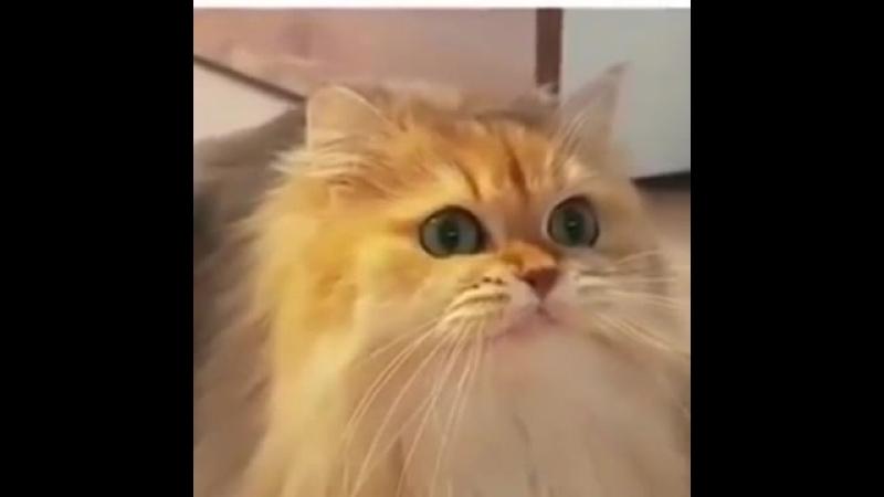 КОТ ВИТАС РАЗОГРЕВАЕТ ГОЛОСОВЫЕ СВЯЗКИ: VITAS CAT