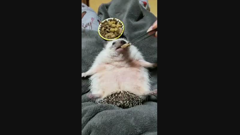 Ёжик ест с рук