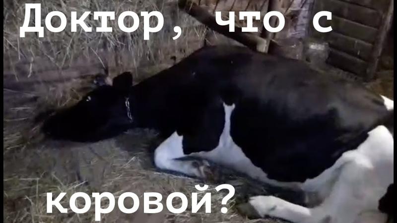 Необычное поведение коровы. КОЛИКИ.