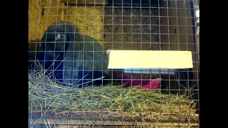 Голубой барашек возраст 5 месяцев