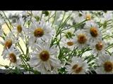 РОМАШКИ....Самый простой цветок - а сколько в нем грации!!! !ромашки цветы полевые...как вы нежны и хороши...обожаю эти цветы