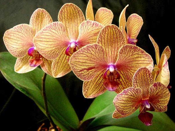 уход за фаленопсисом фаленопсис предпочитает ярко рассеянное освещение, лучше всего для выращивания подходит восточное окно. чтобы орхидеи благополучно росли и цвели, необходимо обеспечить им