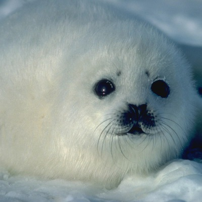 Тюлень Тюленев