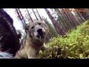 Нападение волков на охотничью собаку