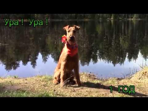 Ирландские терьеры Ягда щенок - Принцесса Весна