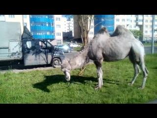 Это БЛЯДСКИЙ верблюд