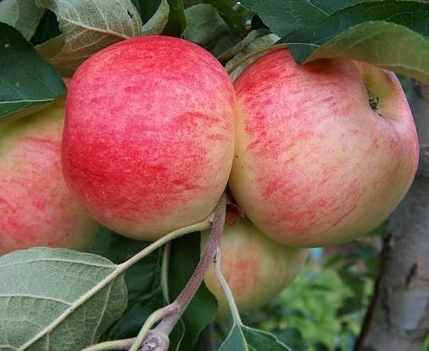 Осыпаются яблоки — подкормите дерево