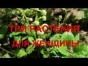 Лекарственные травы для женщин Боровая матка