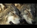 Сергей Избаш - Одинокий бродяга волк