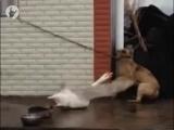 Собака гусь смертельная битва