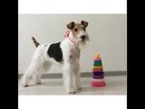 Фокстерьер Тэффи собирает пирамидку Smart fox terrier Taffy building a pyramid Dog Tricks