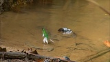 Hummingbirds bathing #coub, #коуб