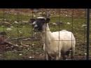 Кричащая овца ПРИКОЛ mp4