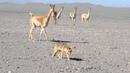 Vicuñas acosando a un zorro culpeo. Salar Punta Negra