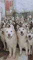 Huskies everywhere