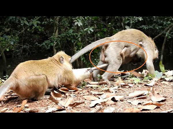 OMG You will cry. break heart when see video,How very bad kidnapper do on baby monkey Amara