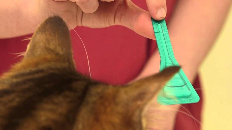 Как наносить капли на холку How to apply a spot-on treatment to your cat